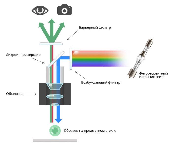 Флуоресцентный микроскоп. Ход лучей прямого флуоресцентного микроскопа